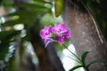 Key West Orchid